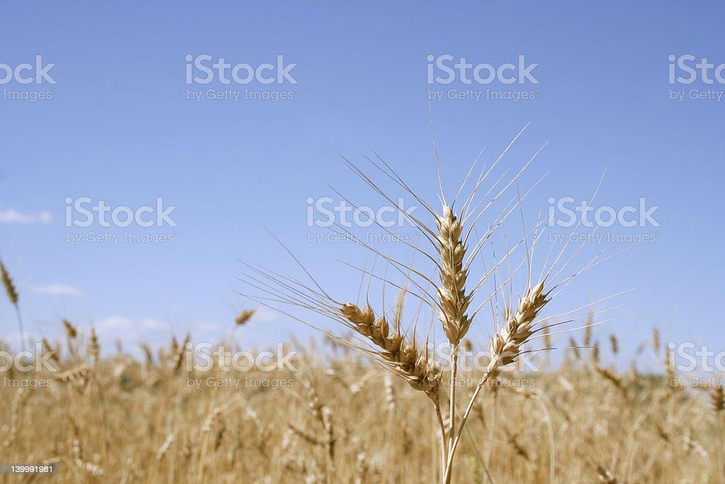 ears of corn stock photo