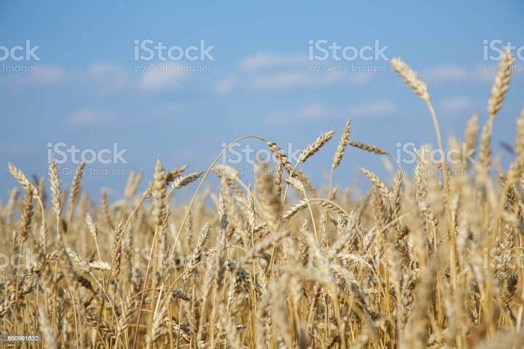 Ears of golden wheat close up. stock photo