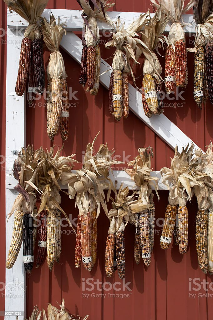 Ears of Indian Corn royalty-free stock photo
