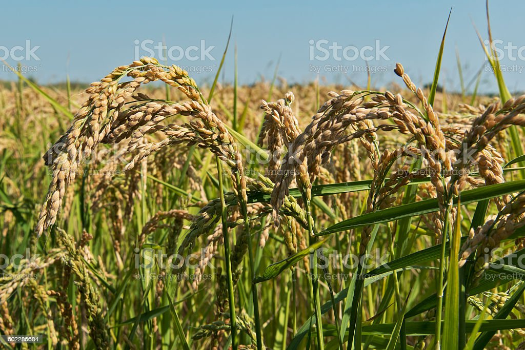 Ears of rice in paddy field stock photo