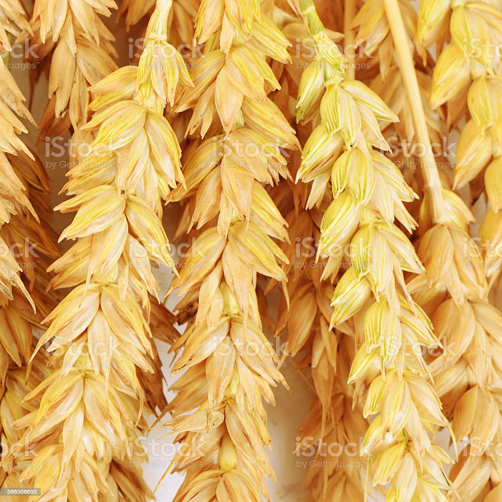 Ears of ripe wheat close up stock photo