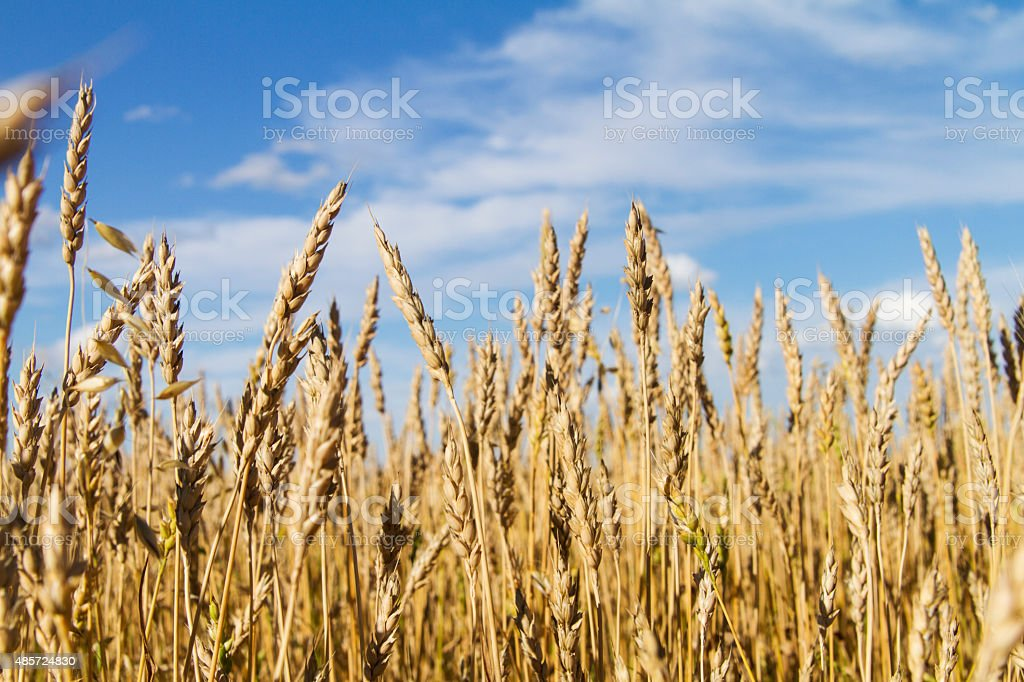 Ears of wheat and blue sky stock photo