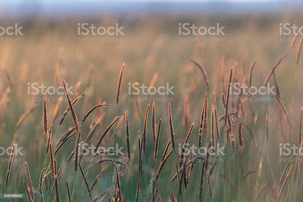 ears of wheat at sunset stock photo