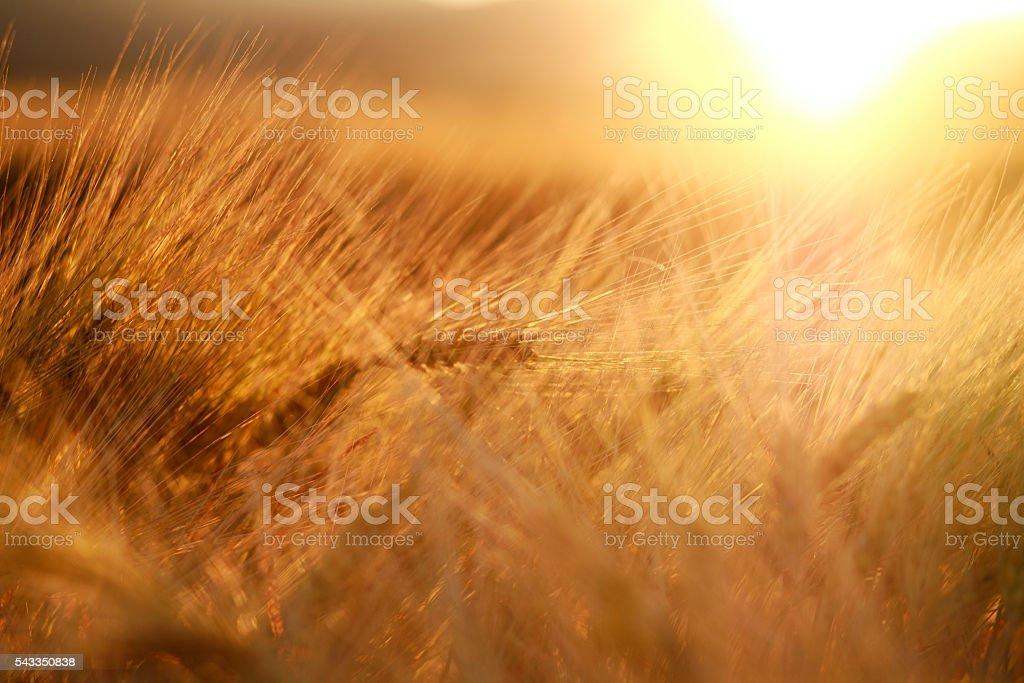 Ears of wheat field closeup on sunset light background stock photo