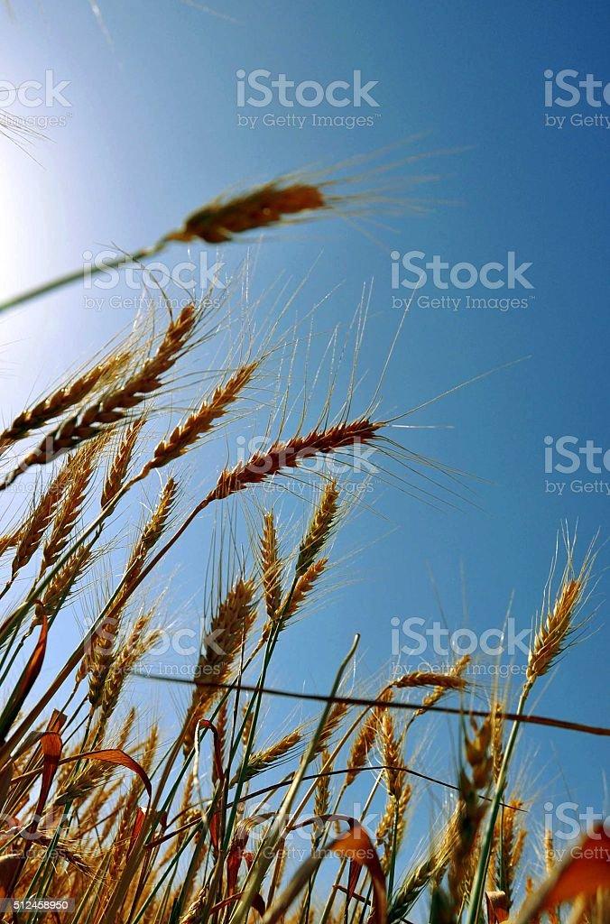 Ears of  wheat ,field on the sunset, sky ,sun , harvest stock photo