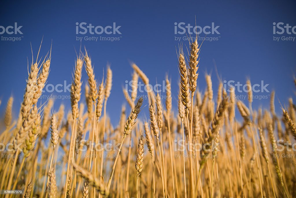 Ears of wheat growing on the field stock photo