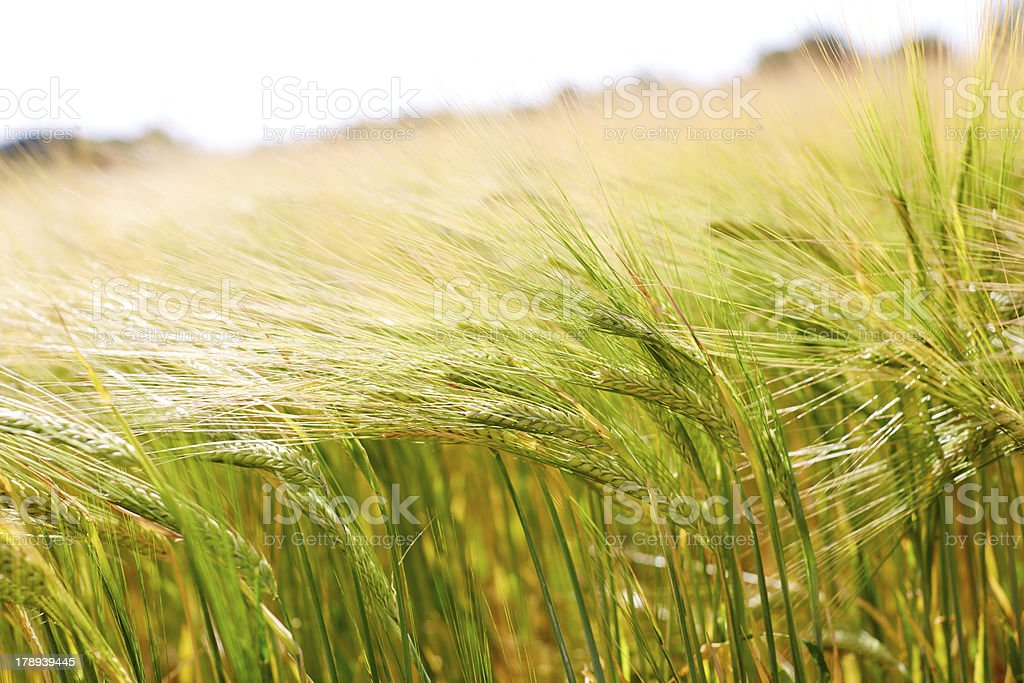 Ears of wheat in field royalty-free stock photo