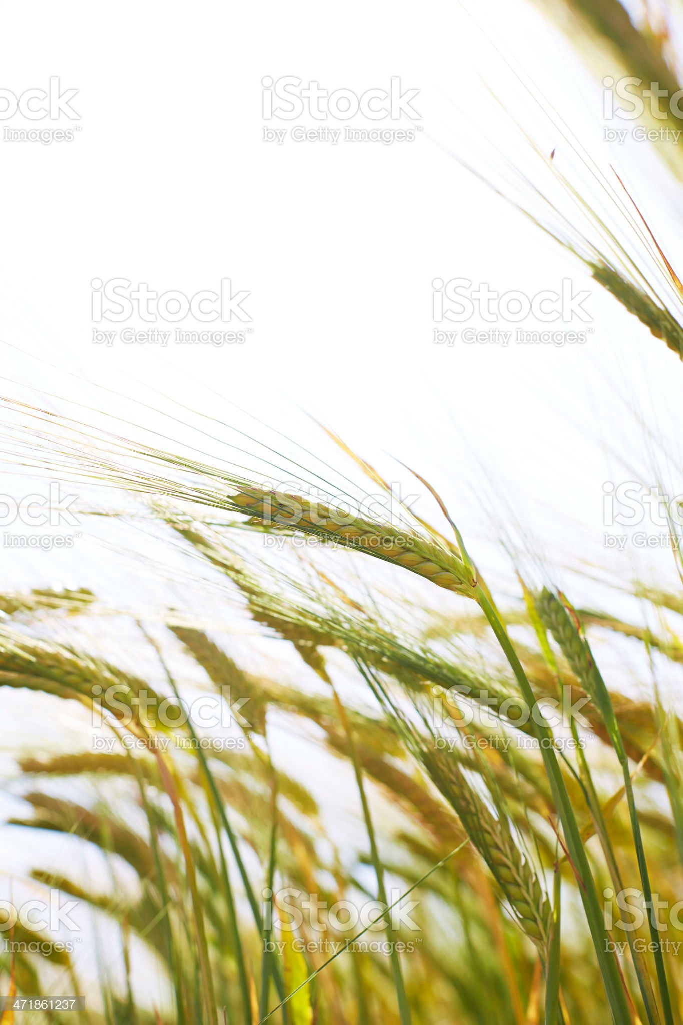 Ears of wheat in field royalty-free stock photo
