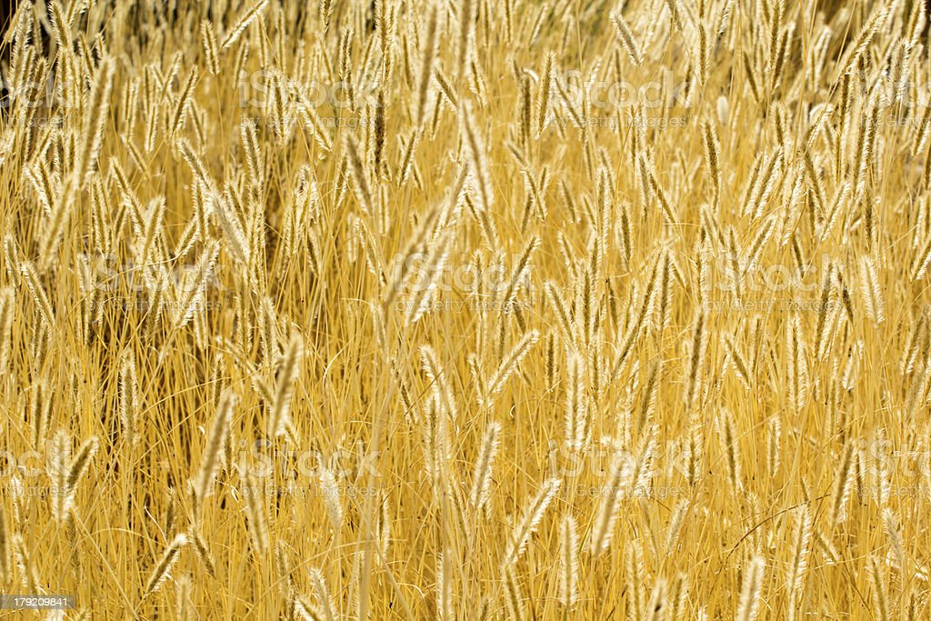 Ears of wheat perfect background. royalty-free stock photo
