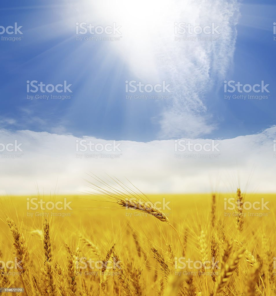 ears of wheat royalty-free stock photo