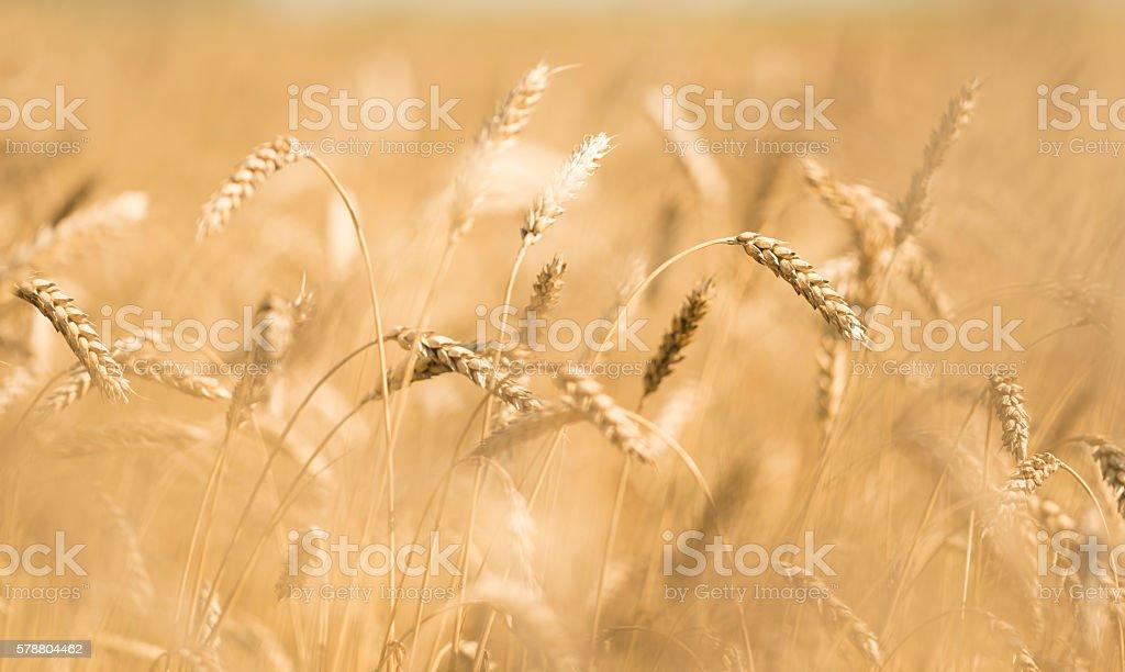 ears of wheat stock photo