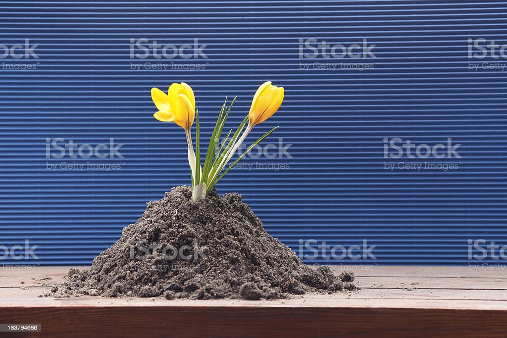 earth blooming crocus by wall  XXXL royalty-free stock photo