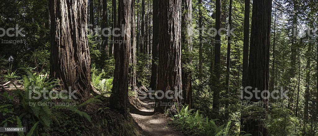 Earth trail through giant Redwood forest royalty-free stock photo