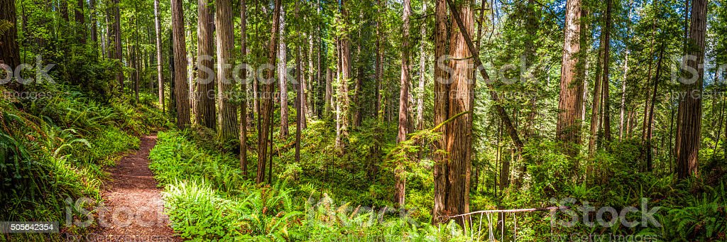 Earth trail through idyllic Sequoia grove Redwood NP forest California stock photo