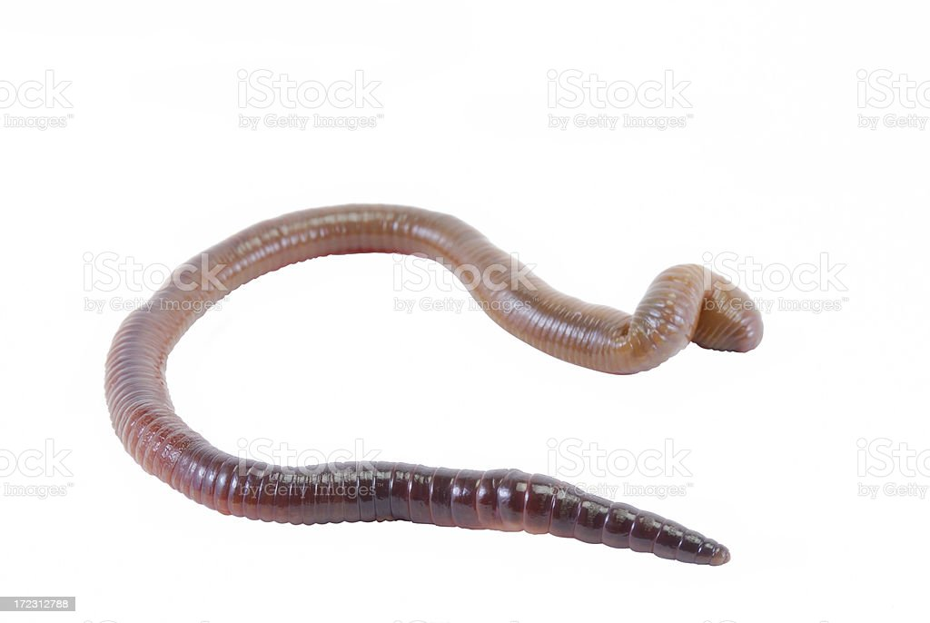 Earth worm with clipping path royalty-free stock photo