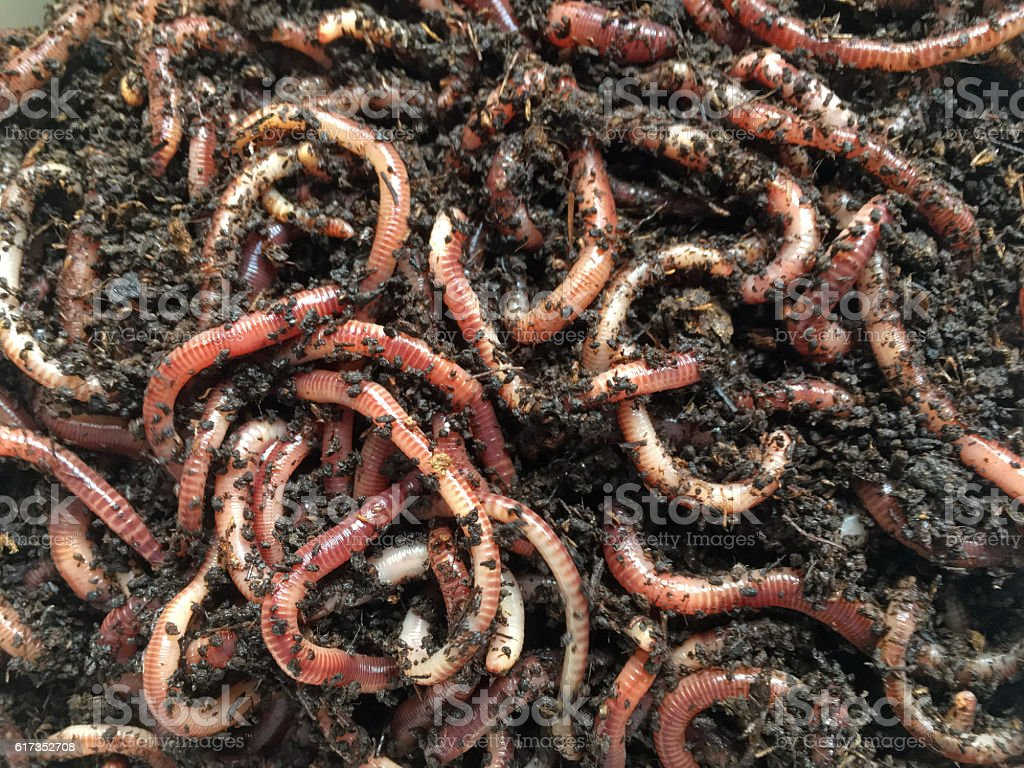 Earth worms for composter or fishing stock photo