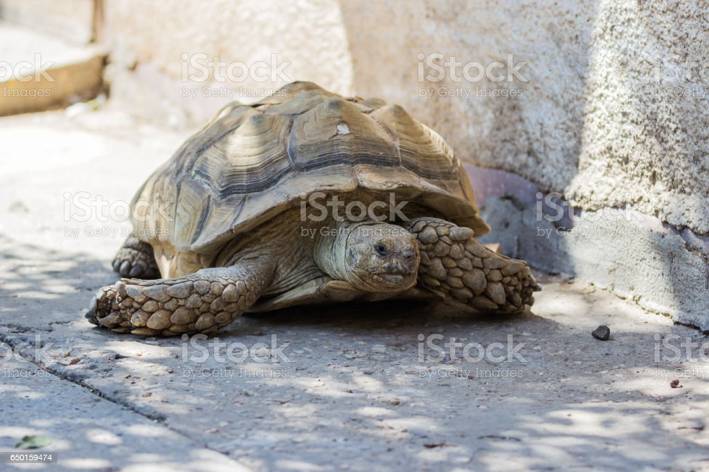 Earthen turtle crawling in the early morning on track stock photo