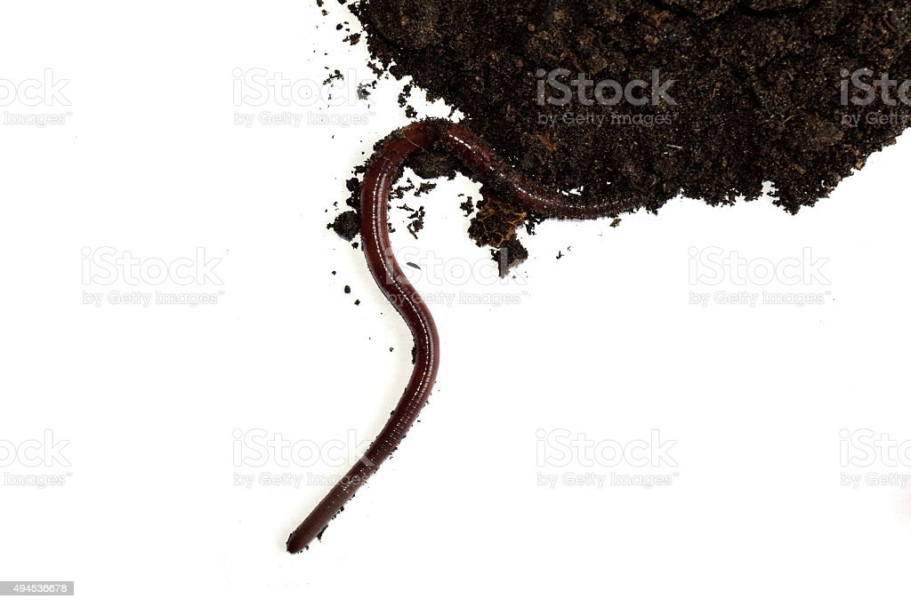 earthworm on clay isolate on white background stock photo