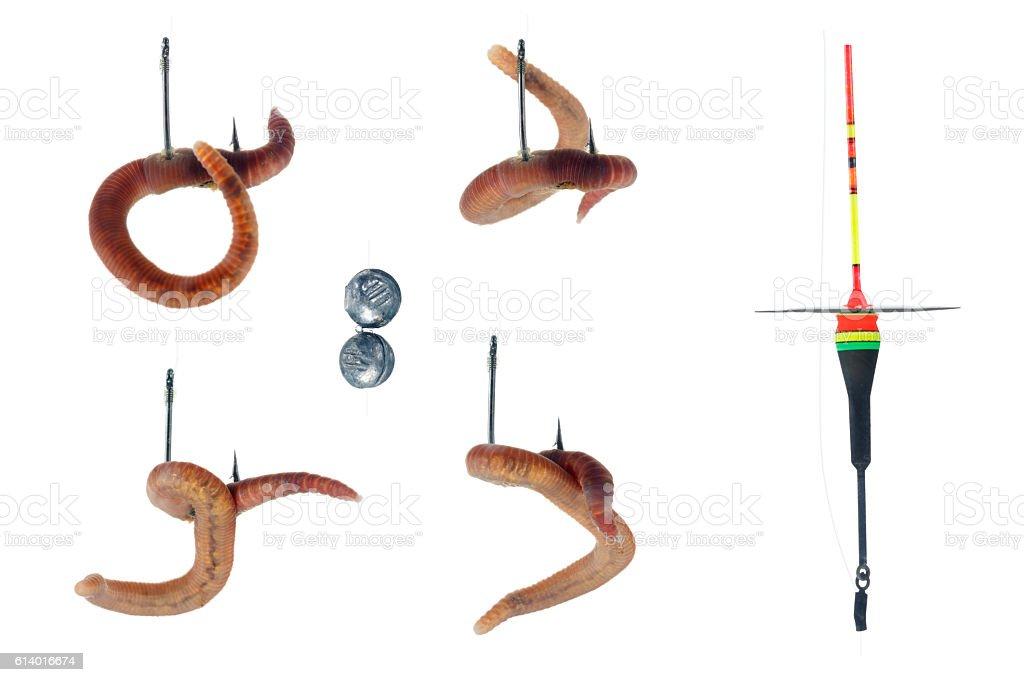Earthworm on hoo, white background stock photo