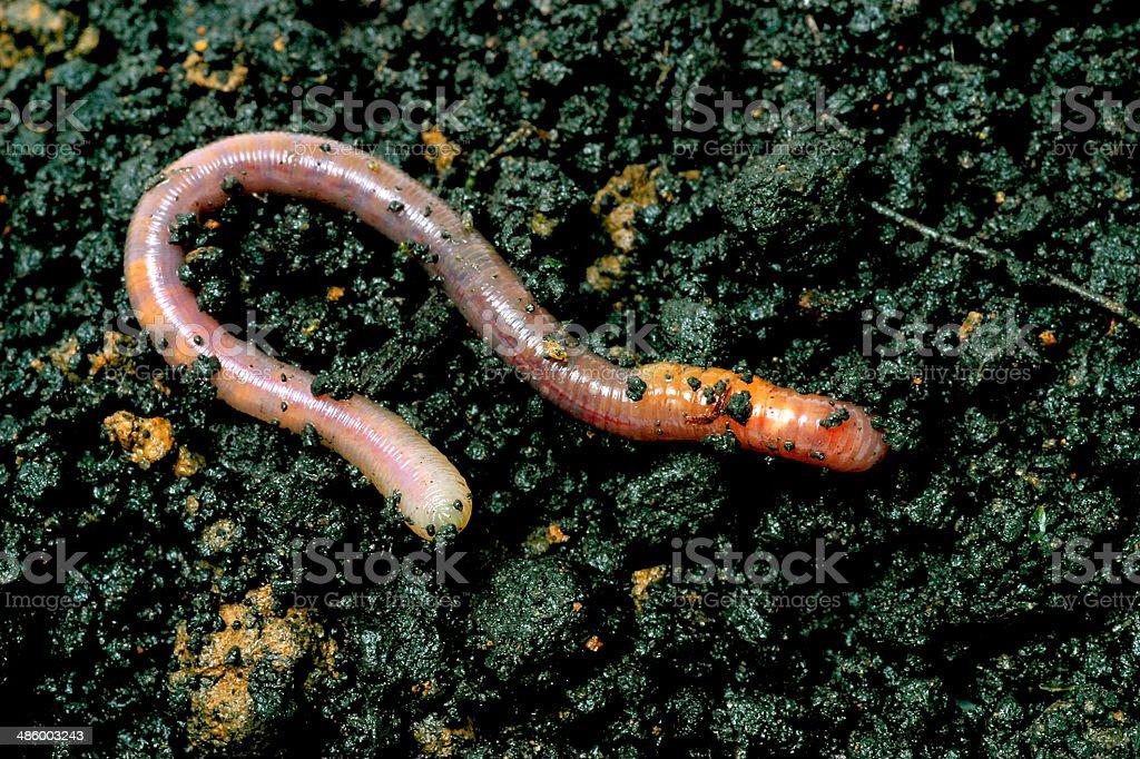 earthworm stock photo