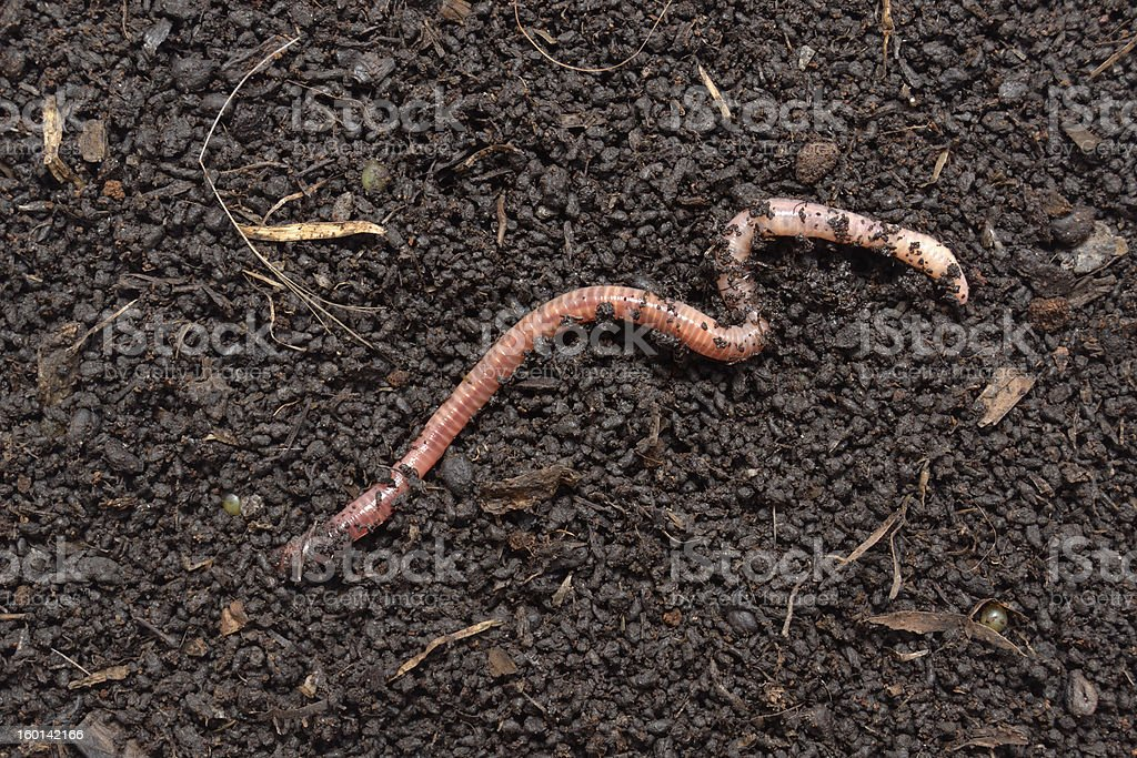 A earthworm wriggles along the dry soil surface stock photo