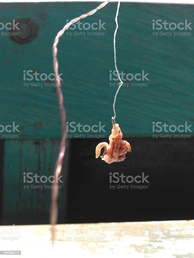 earthworms baited on the hook stock photo