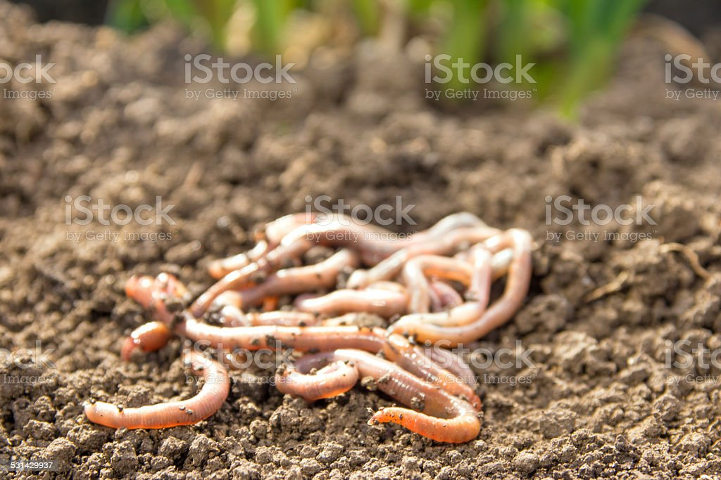 Earthworms on earth patch stock photo