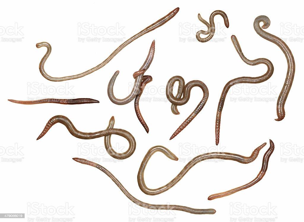 Earthworms stock photo