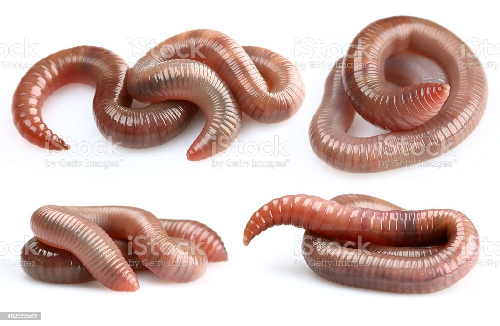 Earthworms royalty-free stock photo