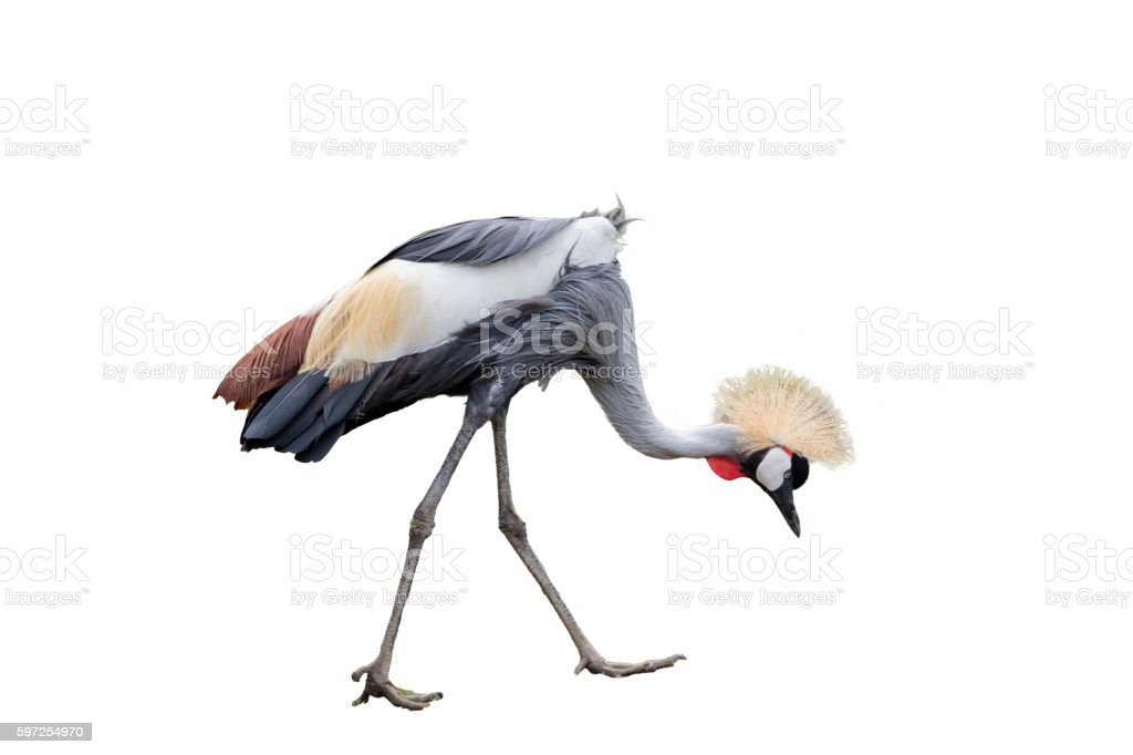 East Aferican Crowned Crane stock photo