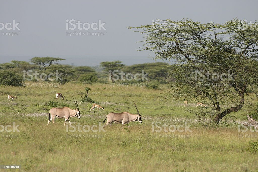East African Oryx, Beisa, Gemsbok, Samburu National Park stock photo