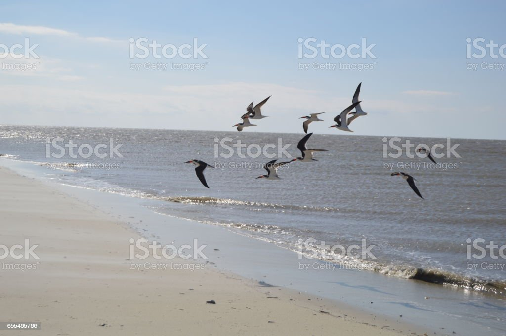 East Beach Skimmers St. Simons Island GA stock photo