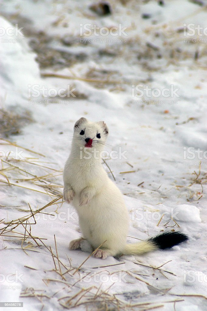 East siberian ermine in the winter. stock photo