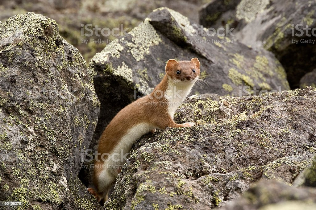 East siberian ermine. stock photo