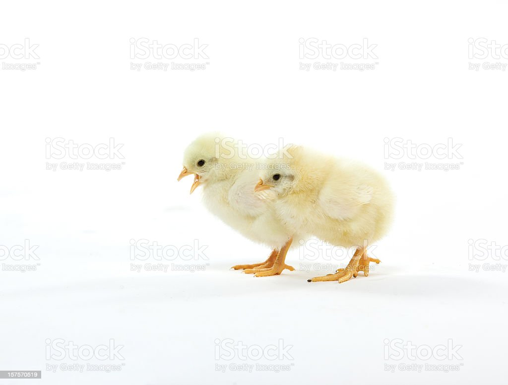 Easter baby chicken Spring chicks royalty-free stock photo