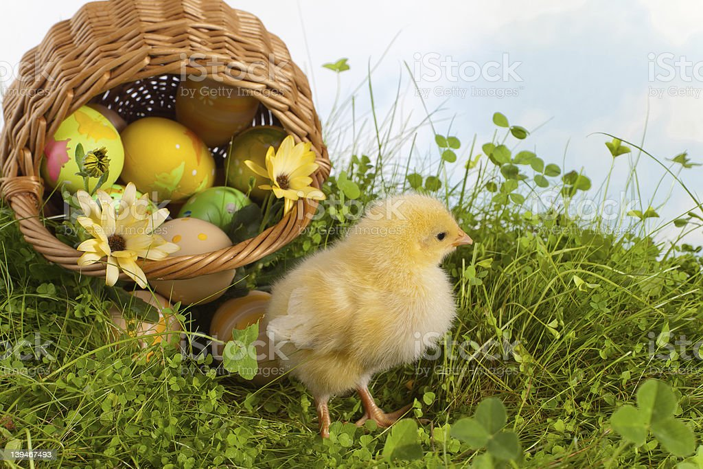 Easter basket with yellow chick royalty-free stock photo