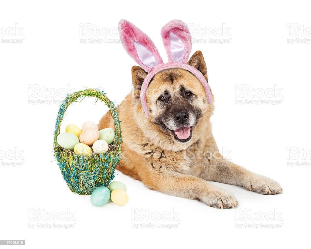 Easter Bunny Akita Dog stock photo