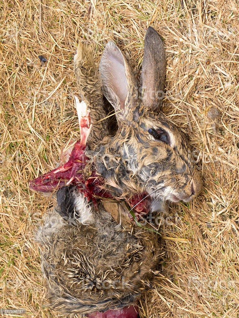 Easter bunny is dead, carcass of mutilated rabbit royalty-free stock photo