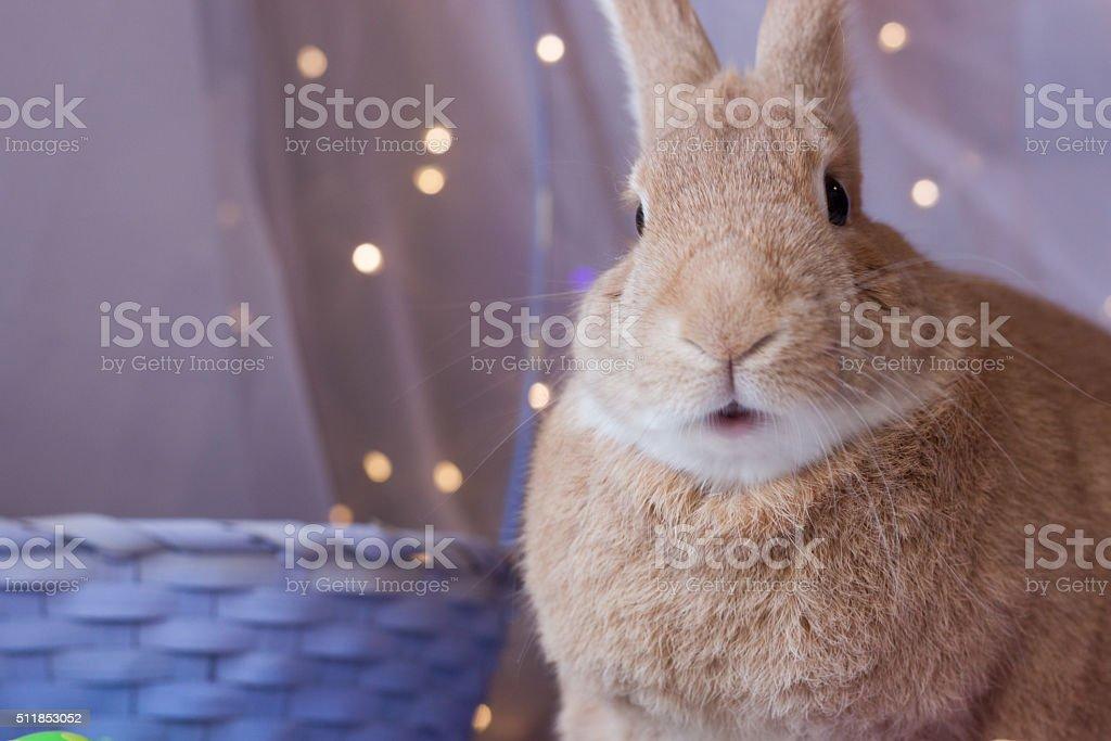 Easter bunny rabbit wondering in awe stock photo