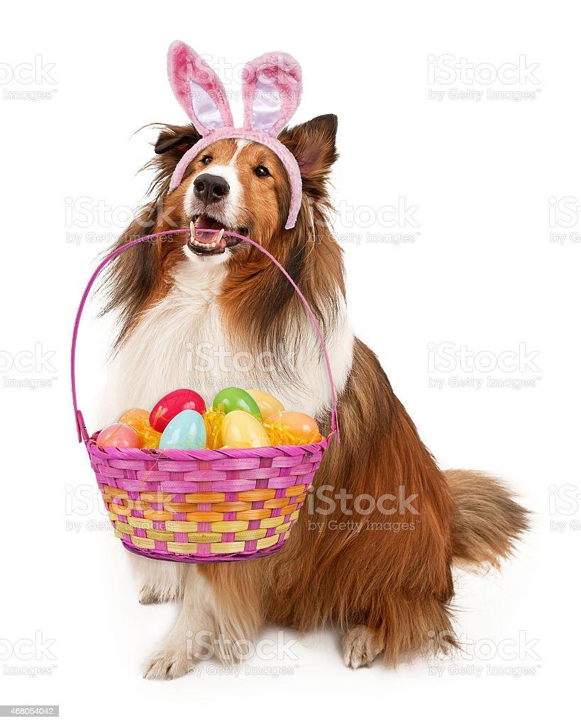 Easter Bunny Shetland Sheepdog stock photo