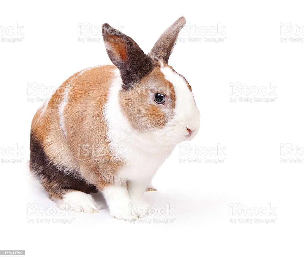 Easter bunny with a white fluffy fur royalty-free stock photo