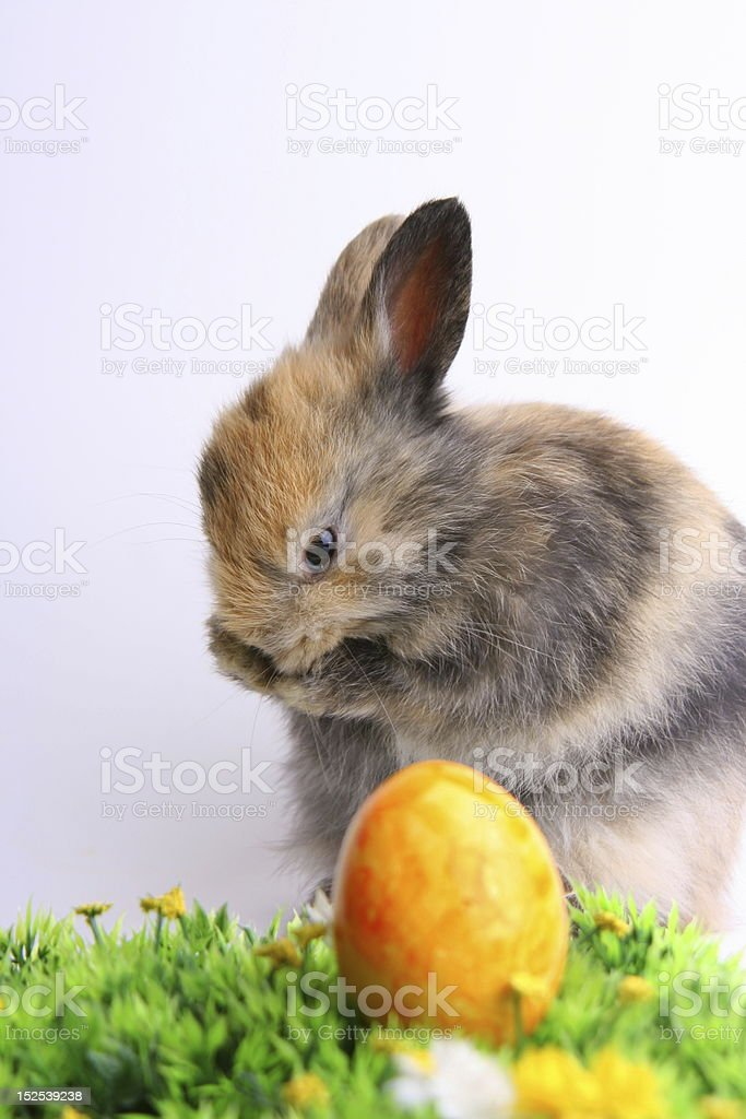 Easter bunny with egg stock photo