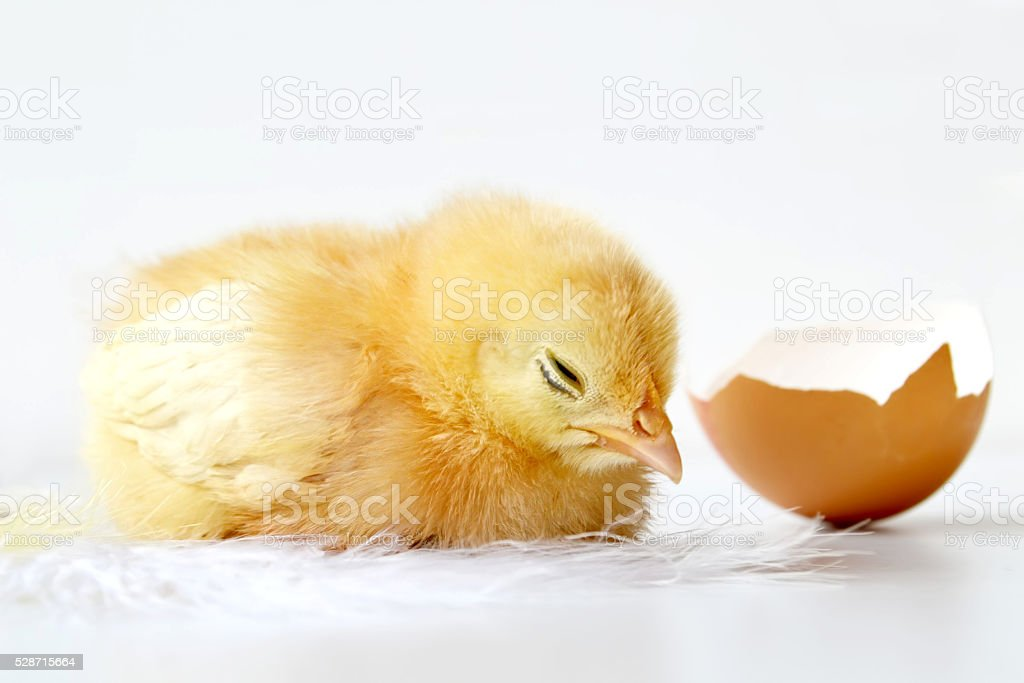 Easter chick and egg shell on light background stock photo