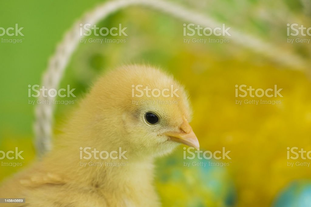 Easter Chick royalty-free stock photo