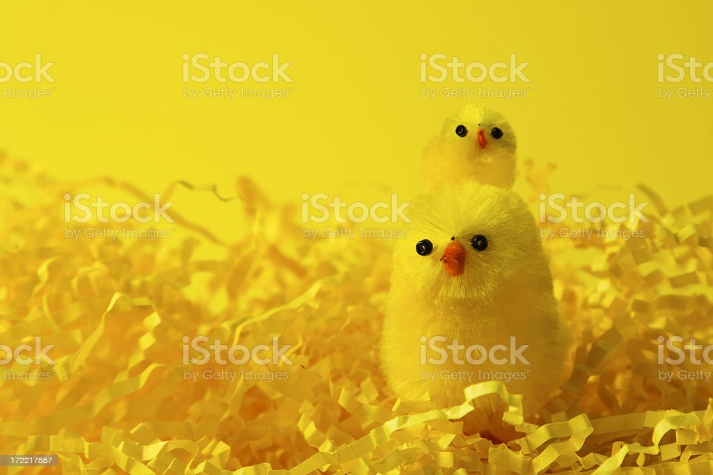 Easter Chicks Singing royalty-free stock photo
