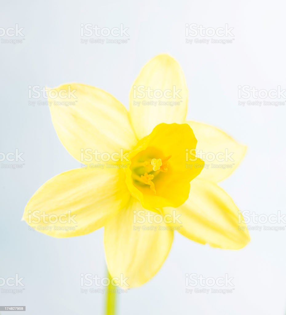 Easter Daffodil royalty-free stock photo