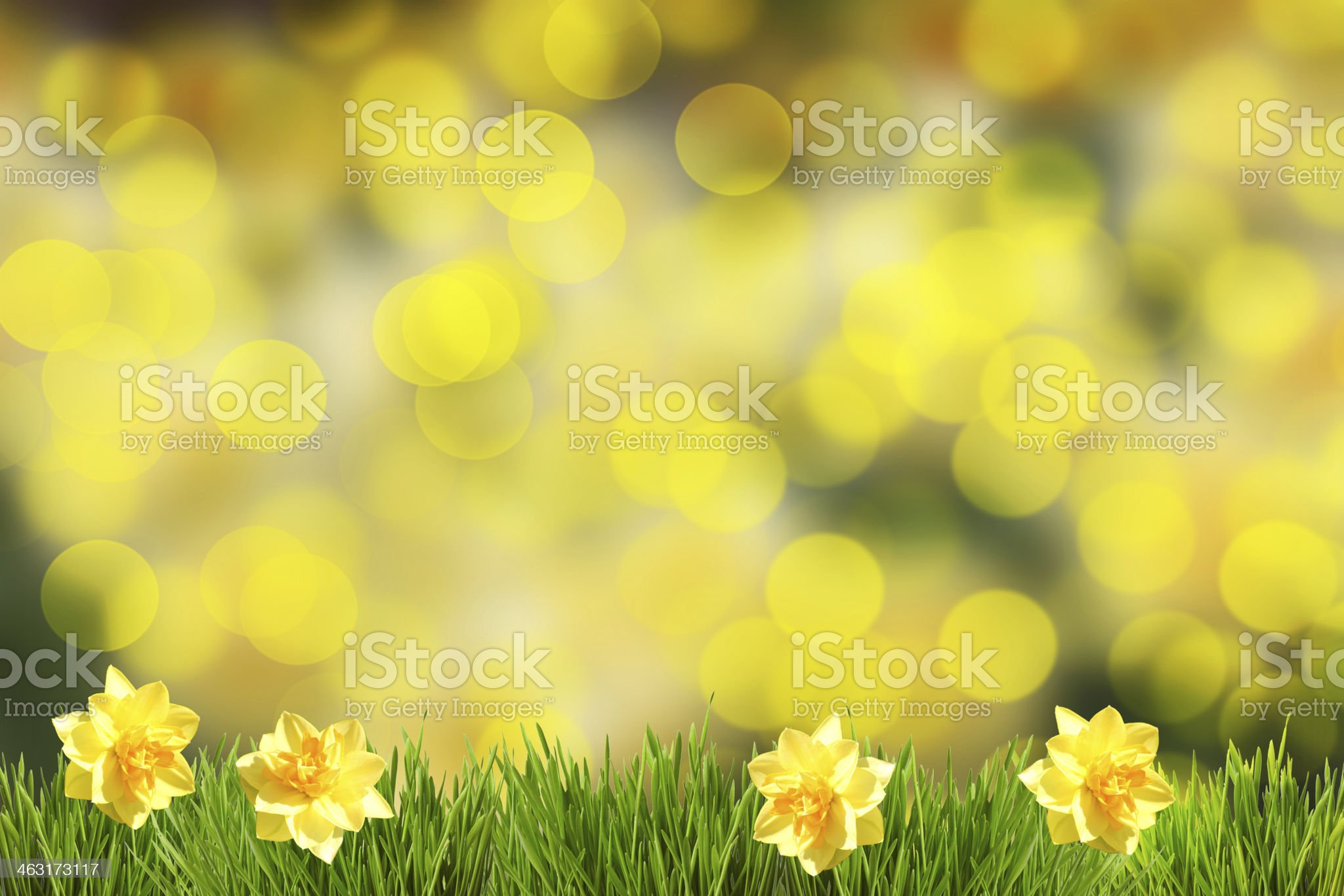 Easter daffodills background royalty-free stock photo