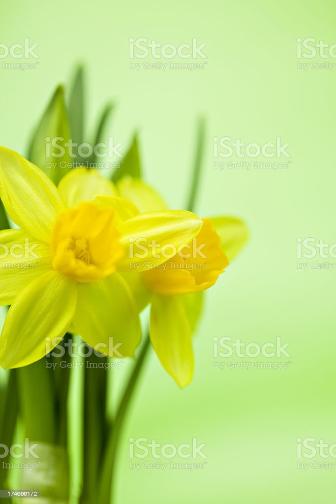 Easter Daffodils royalty-free stock photo