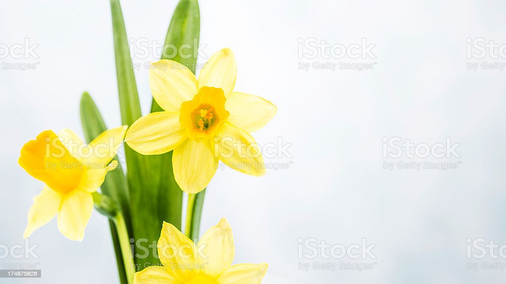 Easter Daffodils with Copy Space royalty-free stock photo