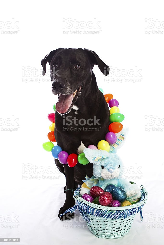 Easter dog royalty-free stock photo